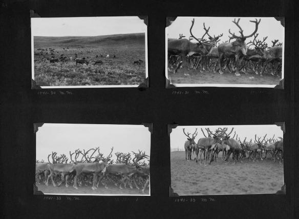 Photographie en noir et blanc d'un collage d'album à photos. Il y a quatre photographies montrant des troupeaux de rennes. Certaines photographies ont été prises de loin, d'autres ont un plan rapproché du troupeau.