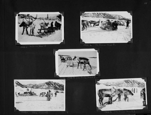 Photographie en noir et blanc d'un collage d'album à photos. Il y a cinq photographies montrant des rennes qui tirent des traîneaux de toutes sortes, des personnes apparaissant en toile de fond. Les photos sont étiquetées et certaines personnes sont identifiées.