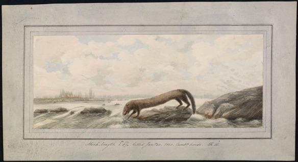 Aquarelle représentant un vison qui trempe une patte dans l'eau sur le bord d'une rivière.