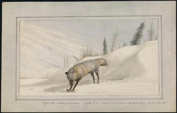 Aquarelle d'un renard ayant capturé une souris dans un paysage hivernal