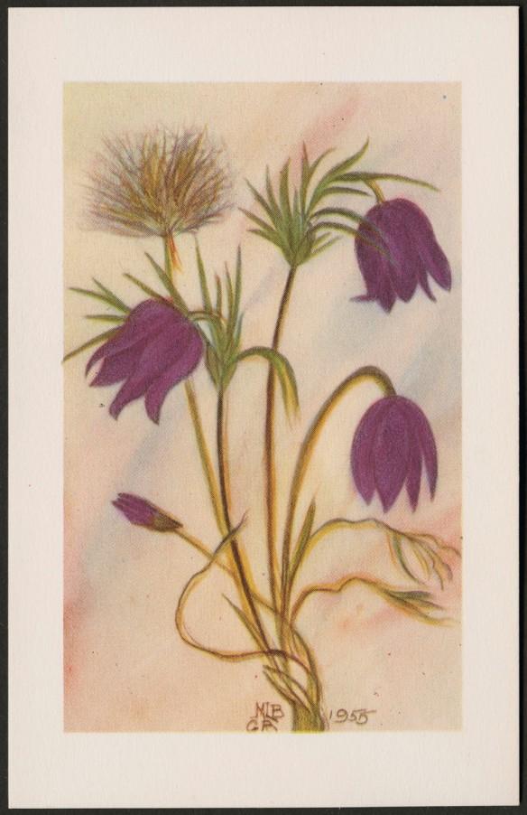 Reproduction en couleur d'une plante avec quatre fleurs pourpres et une fleur montée en graines. Dans le bas, au centre, se trouvent les initiales « MLB » et « GB ». L'œuvre est datée de 1955.