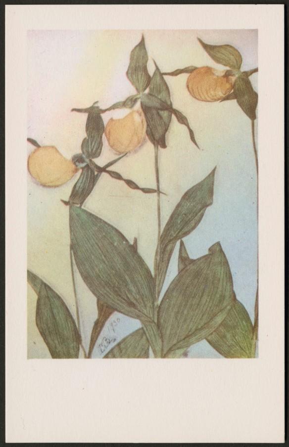 Reproduction en couleur d'une plante avec trois fleurs jaunes et de larges tiges foliacées. Arbore les initiales « MB » et est datée de 1930.