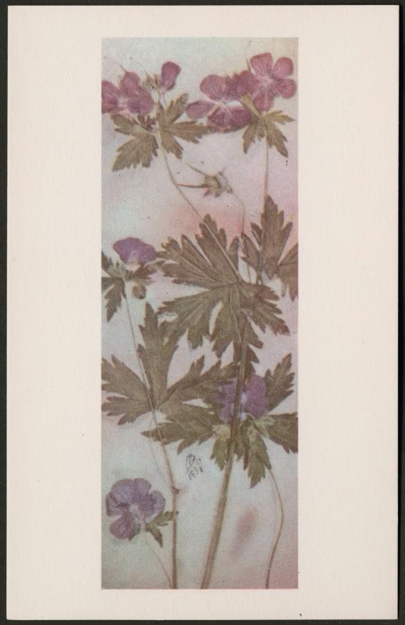 Reproduction en couleur d'une plante avec de petites fleurs pourpres et de larges feuilles à lobes profondes. Elle arbore les initiales « MB » et est datée de 1930.