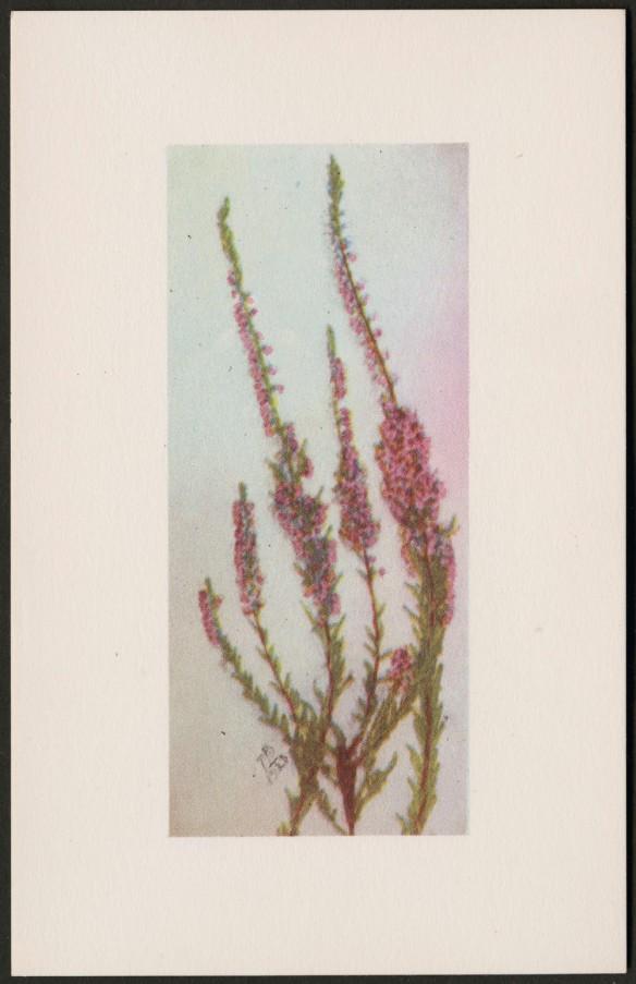Reproduction en couleur d'une plante aux longues tiges lignifiées, portant des groupes serrés de minuscules fleurs roses et de petites feuilles. L'impression arbore les initiales « MB » et est datée de 1920.