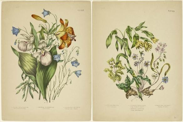 Deux planches représentant des fleurs multicolores et des feuilles vertes. À gauche : lis de Philadelphie, campanule à feuilles rondes et cypripède royal. À droite : hépatique à lobes aigus, uvulaire grandiflore, anémone à cinq folioles et claytonie lancéolée.