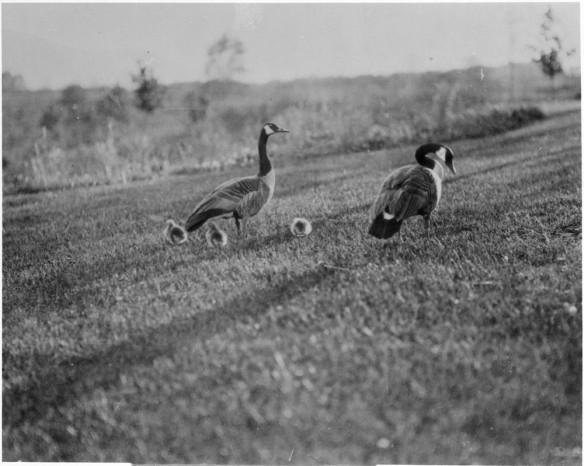 Photographie en noir et blanc de deux bernaches du Canada adultes et de trois oisons d'un jour debout sur une pelouse.