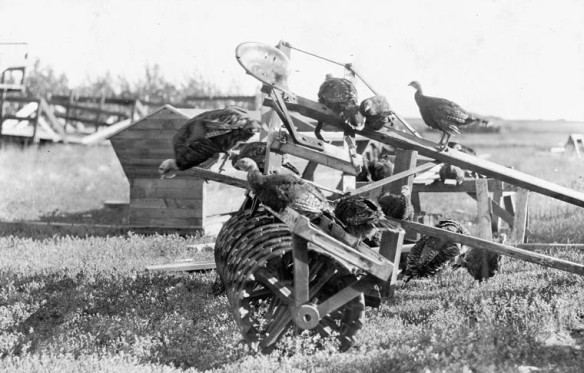 Photographie en noir et blanc de huit dindons perchés sur une herse à disques tirée par un cheval (deux dindons se trouvent au sol derrière la machine)