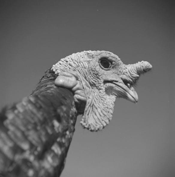 Photographie en noir et blanc qui montre, en gros plan, un dindon.