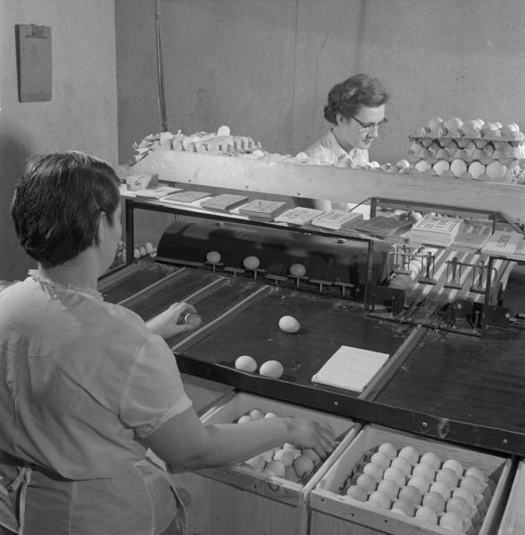 Photo noir et blanc de deux femmes inspectant des œufs qui défilent sur un transporteur à courroie et les plaçant dans des boîtes.