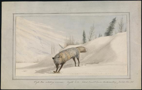 Aquarelle d'un renard blanc qui chasse une souris dans un paysage enneigé.