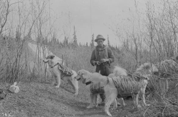 Photo noir et blanc d'un homme et de ses quatre chiens; les bêtes portent des paquets sur leur dos.