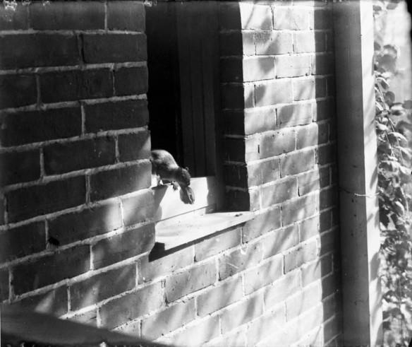 Photographie noir et blanc d'un écureuil avec une noix dans la gueule sortant d'un édifice par une fenêtre ouverte.