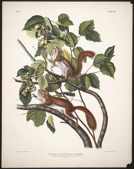 Estampe couleur montrant un écureuil de la baie d'Hudson et un écureuil roux américain en quête de nourriture dans les branches d'un arbre.
