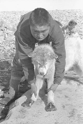 Photo noir et blanc d'un homme tenant un chien de traîneau chaussé de bottillons.