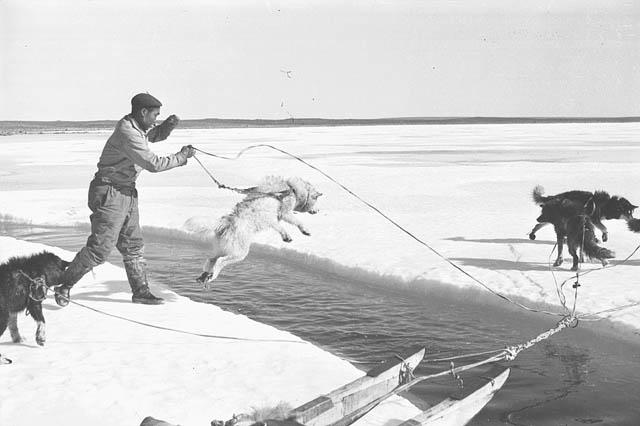 Photo noir et blanc d'un chien de traîneau sur une vaste étendue glacée, sautant au-dessus d'une large craque remplie d'eau. Un homme tient son attelage.