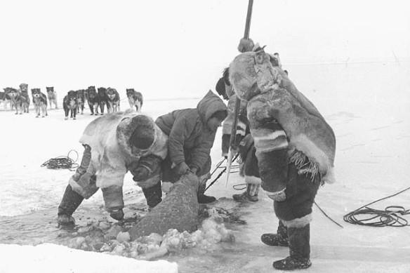 Photo noir et blanc de gens venant de capturer un phoque et le hissant hors de l'eau à travers un trou pratiqué dans la glace. On voit un attelage de chiens à l'arrière-plan.