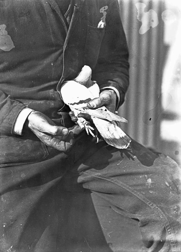 Photographie noir et blanc d'un pigeon voyageur dans les mains d'un pilote de brousse.