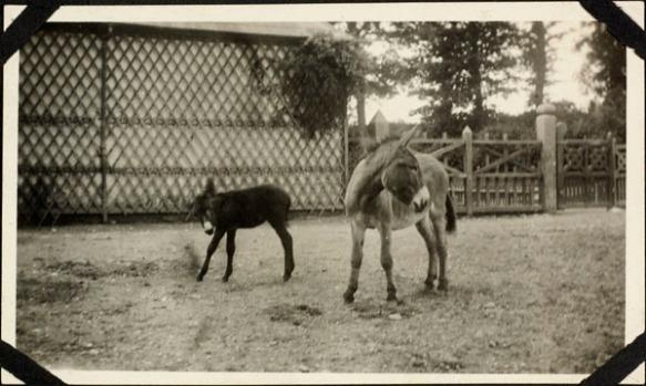 Photo noir et blanc de deux ânes dans un enclos.