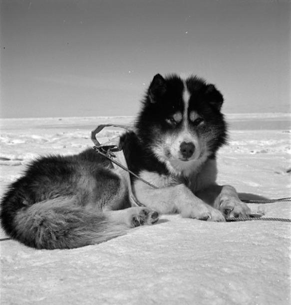 Photo noir et blanc d'un chien de traîneau allongé sur la neige.