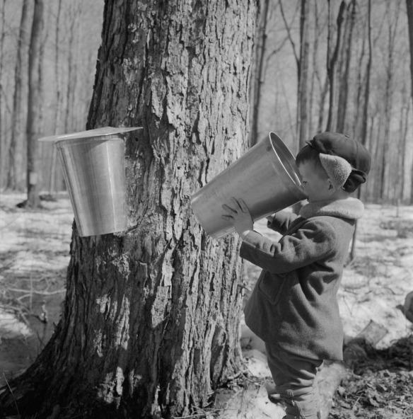 Photo noir et blanc d'un jeune garçon près d'un gros érable, buvant de l'eau d'érable à même la chaudière.