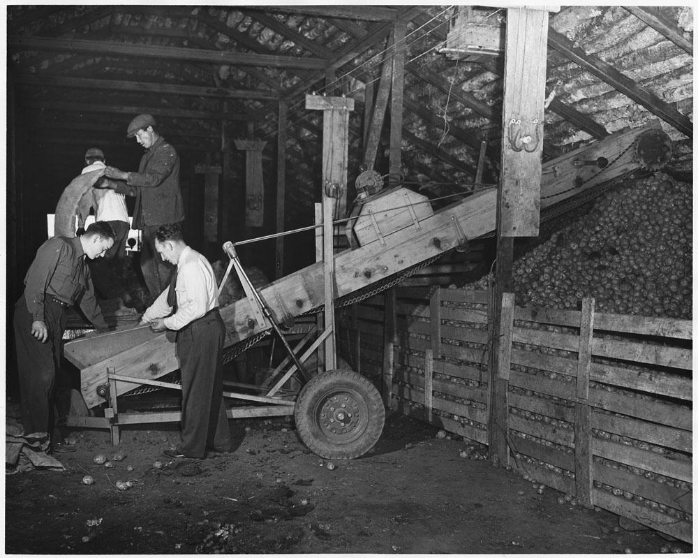 Photo noir et blanc de quatre hommes examinant des pommes de terre sur un petit convoyeur dans une grange.
