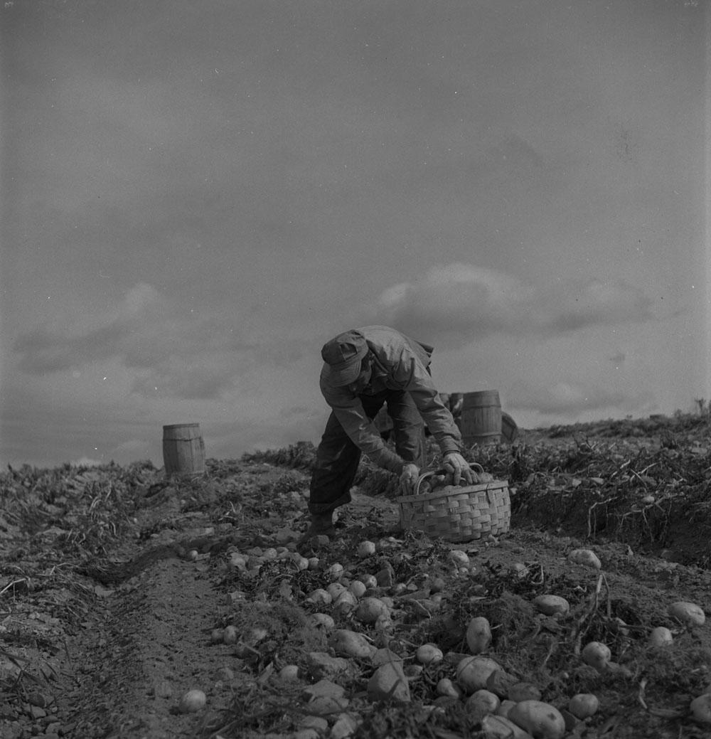 Photo noir et blanc d'un homme ramassant des pommes de terre dans un champ pour remplir un panier.