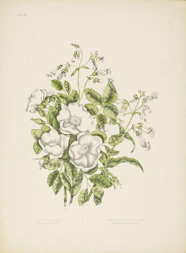 Quatre roses blanches sauvages sur un lit de petites feuilles vertes, entourées de petites fleurs blanches.