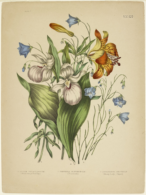 Deux cypripède royaux dressés, entourés de larges feuilles vertes, d'un lis orange ouvert et d'un autre en bouton, et de petites campanules bleues à feuilles rondes.