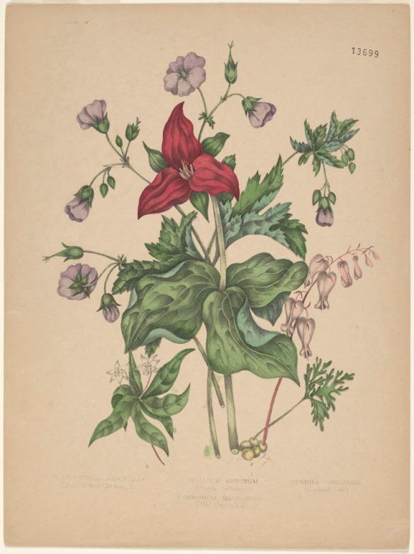 Un trille rouge dressé, entouré de larges feuilles vertes, de petites fleurs violettes, de fleurs roses en forme de grains de maïs et de petites fleurs blanches étoilées.