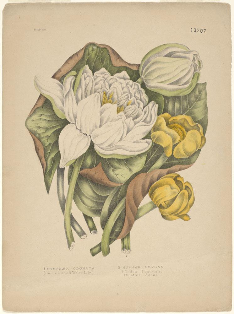 Deux nénuphars blancs (l'un ouvert, l'autre fermé) et deux jaunes (l'un ouvert, l'autre fermé) sur un lit de feuilles vertes.