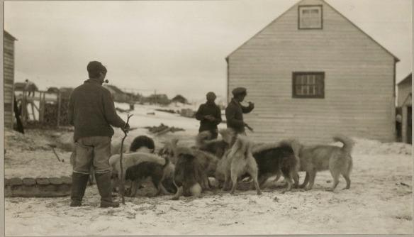Photo noir et blanc de trois hommes autour d'une meute de chiens de traîneau qui mangent. Il y a un bâtiment blanc en arrière-plan.